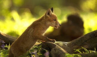Fox Cub by Julie Marshall
