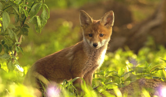 Julie Marshall - Fox Cub
