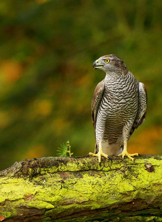 Julie Marshall - Goshawk