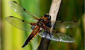 Brown Dragonfly by Moira Foster