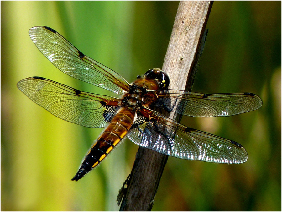Moira Foster - Brown Dragonfly