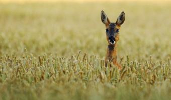 Big Ears by Julie Marshall