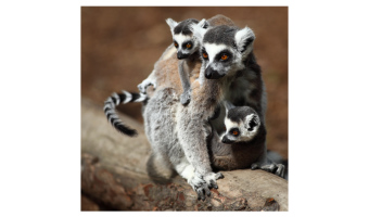 Ring Tail Lemur Family by Geoff Spink