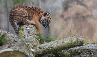 Paul Spink - Tiger cub