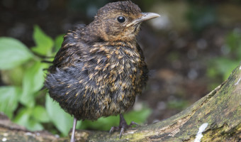 3rd. Baby Blackbird by David Walker.