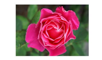 Doug Rucklidge - Rose