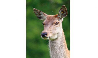 Bev Spooner - Deer on the alert