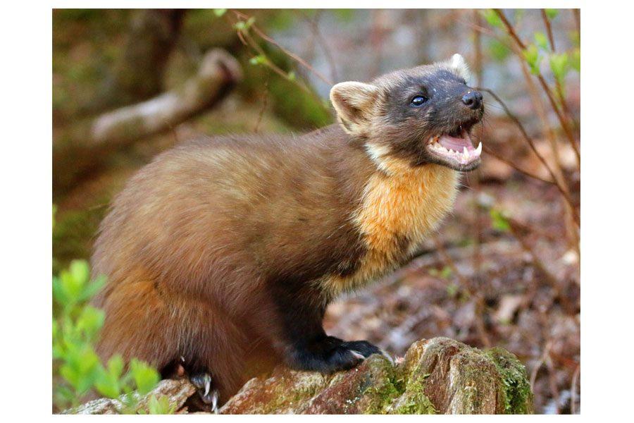 Bev Spooner - Woodland hunter