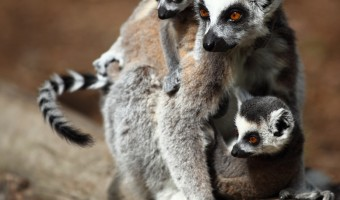 Ringtail Lima Family by Geoff Spink