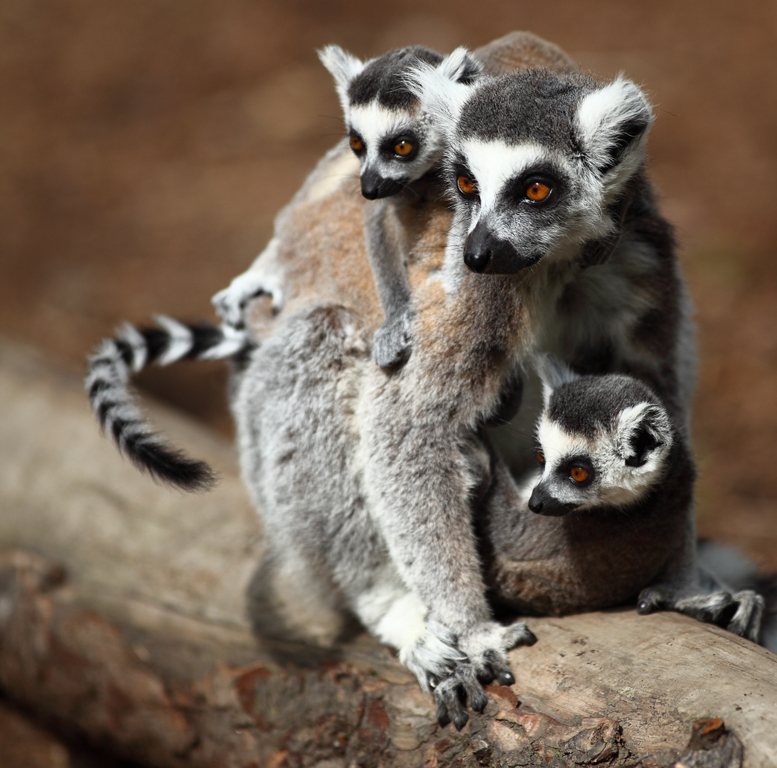 Geoff Spink - Ringtail Lima Family