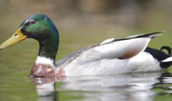 Geoff Spink - Duck