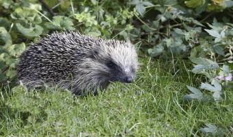 Hedgehog Geoff Spink