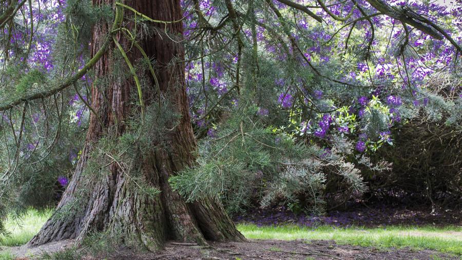 David Walker - Pine Tree