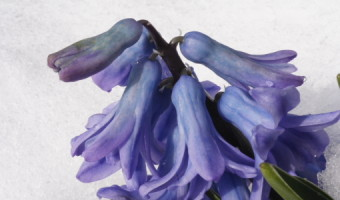 Geoff Spink - Bluebell