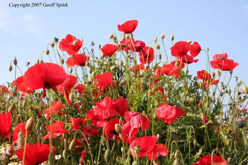 Geoff Spink - Poppies
