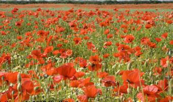 Geoff Spink - Poppy Field