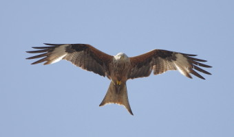 Geoff Spink - Red Kite