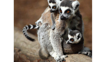 Ring-tail Lima Family