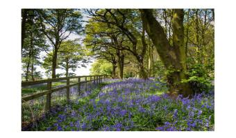 Runner up Bluebell Woods by Sadie Nicholls