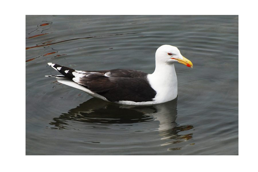 Keith Brown - greater-black-backed-gull