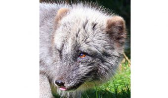 Bev Spooner - Arctic Fox