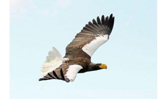 Bev Spooner - Sea Eagle