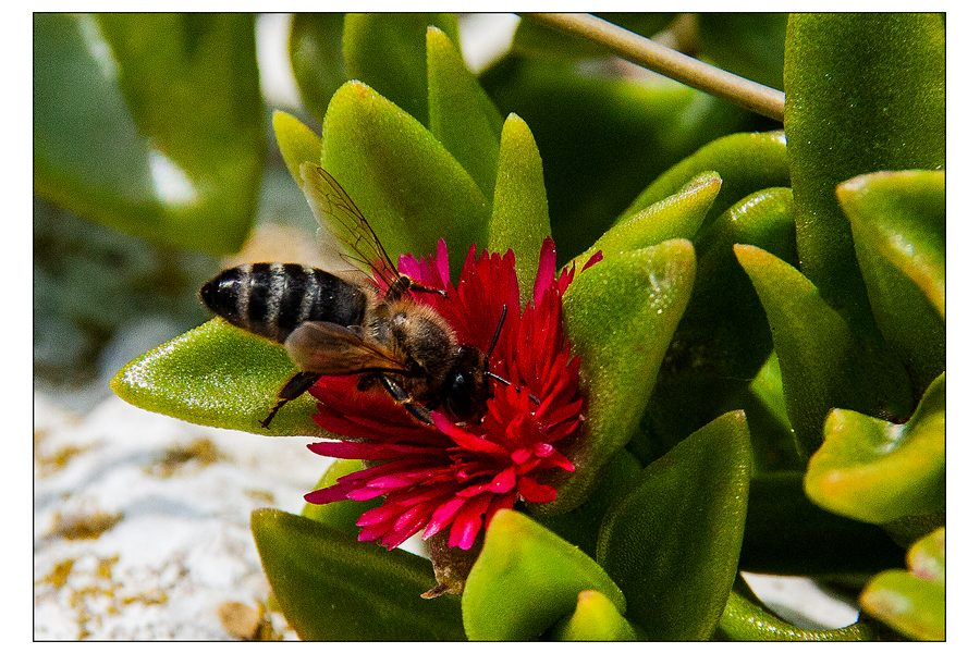 Dick Townend - BEE on cactus flower