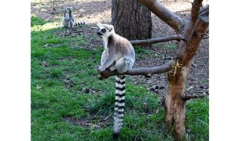 Dick Townend - Ring tailed Lemurs