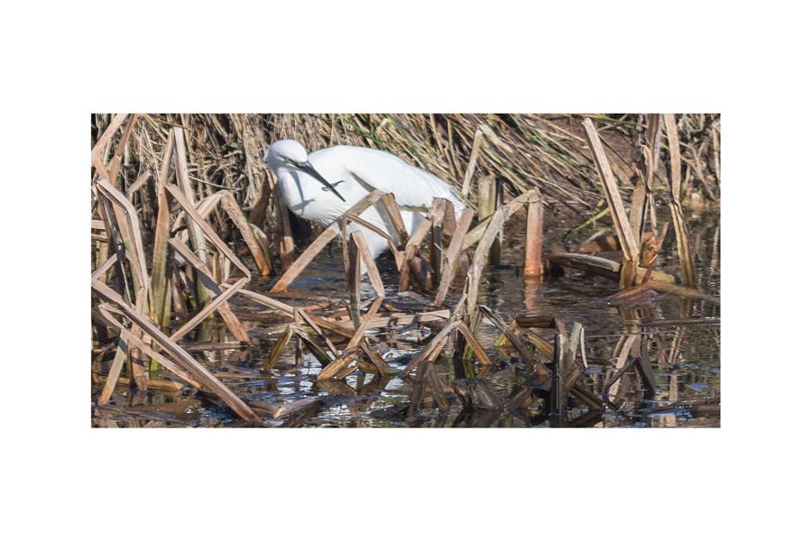 Bruce Clegg - Egret